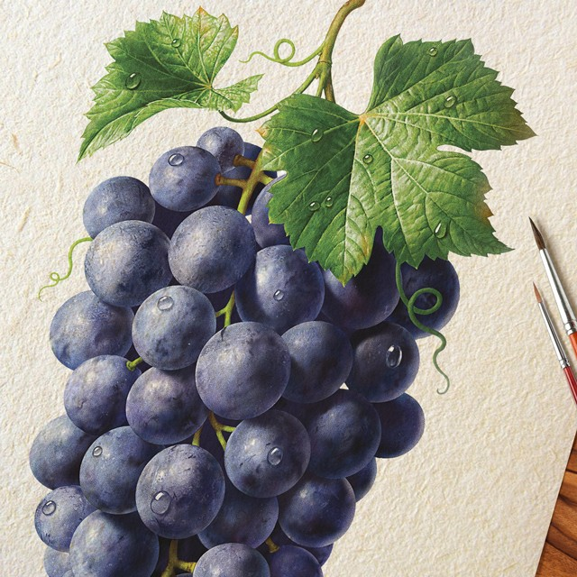 A branch of grapes. Watercolor illustration.
