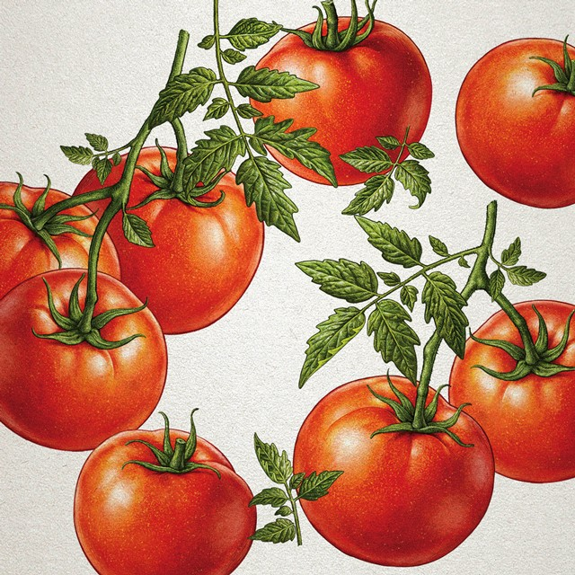 Tomatoes. Illustration for advertising.